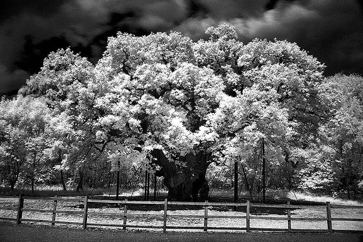 Major Oak Infrared 850nm Summer 2010