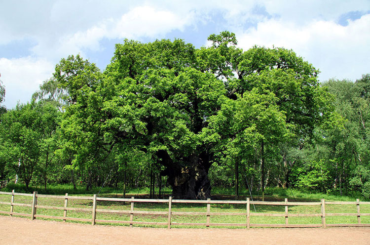 Major Oak Summer 2010