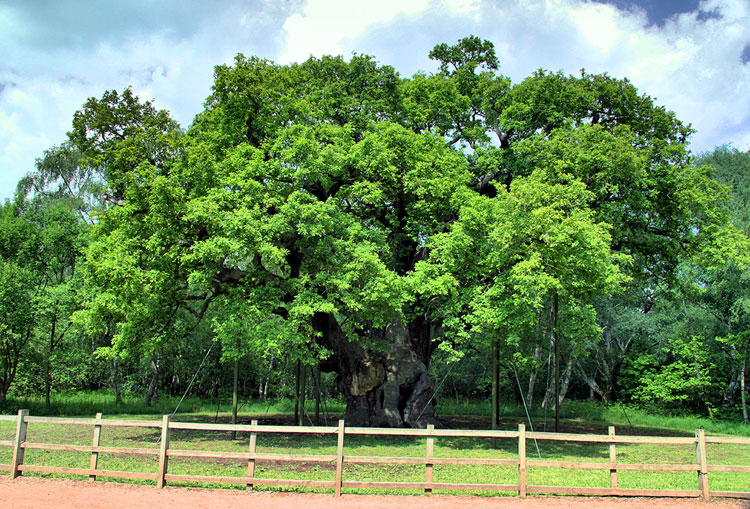 Major Oak HDR Summer 2010