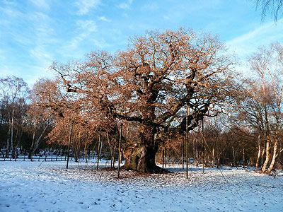 The Major Oak December 2010