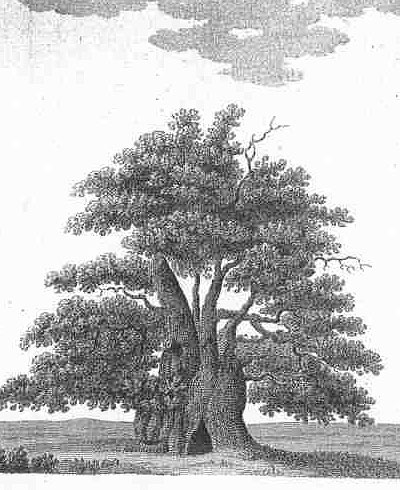 Engraving Major Oak