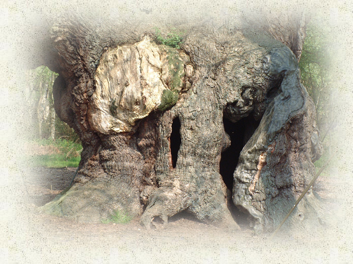 Major Oak Trunk