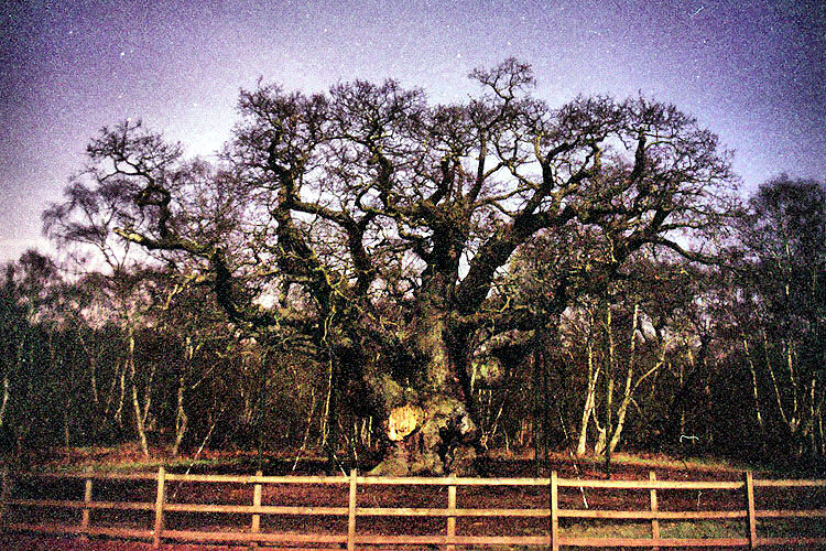 Major Oak by Moonlight  Early 2009