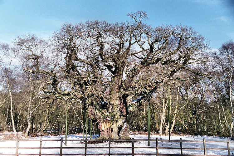 Major Oak Winter 2009