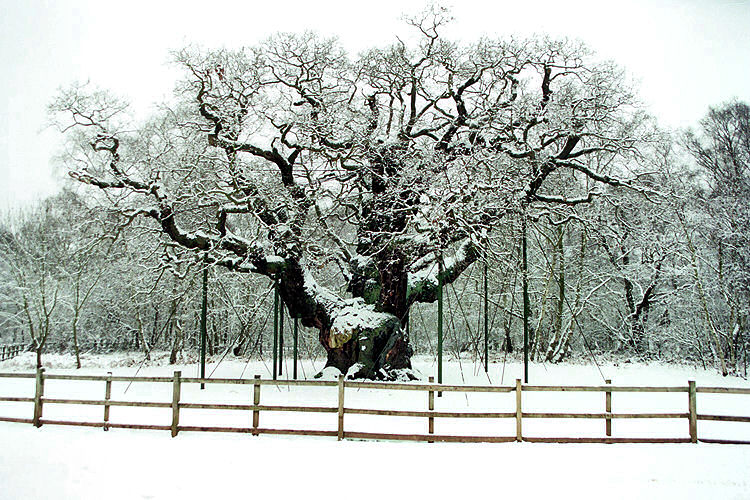 Major Oak early 2009